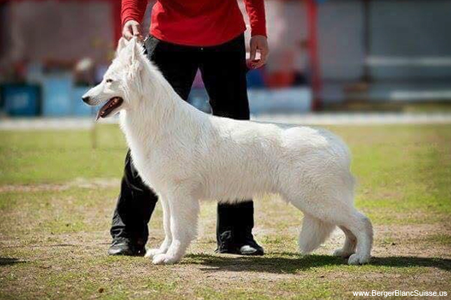 Breed Standard Picture for Berger Blanc Suisses