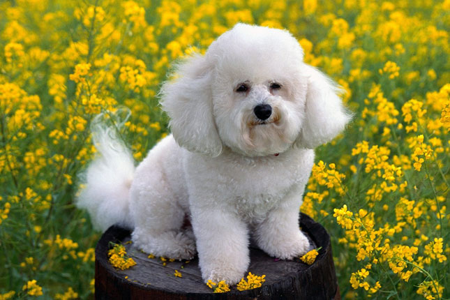 Picture of a Bichon Frise