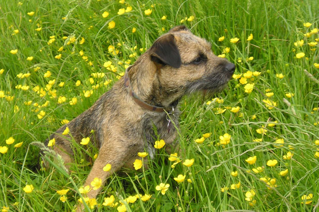 Picture of a Border Terrier