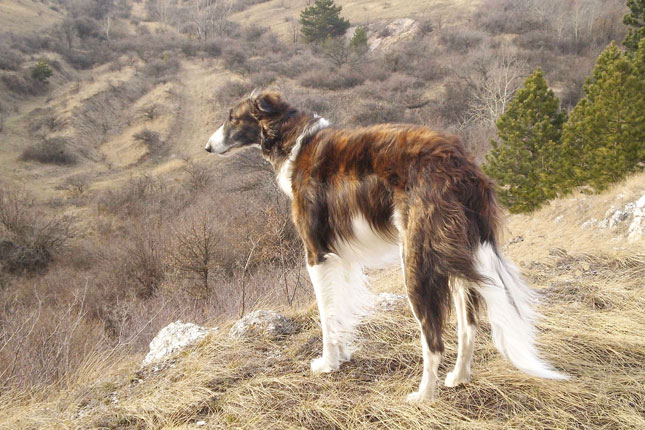 Picture of a Borzoi