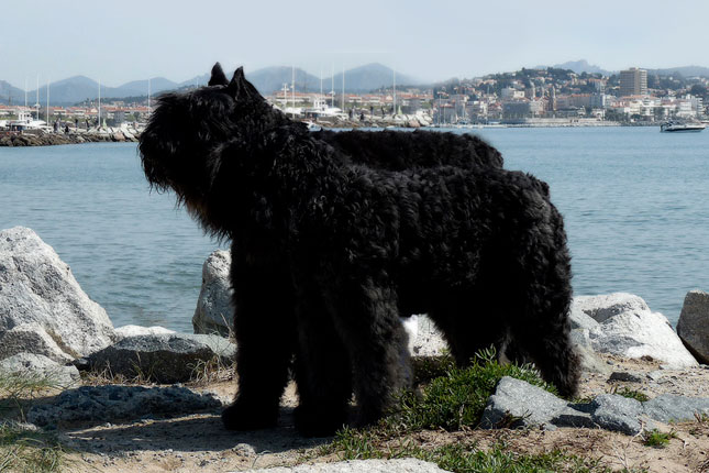 Picture of a Bouvier Des Flandres