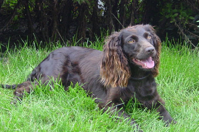 Breed Standard Picture for Boykin Spaniels