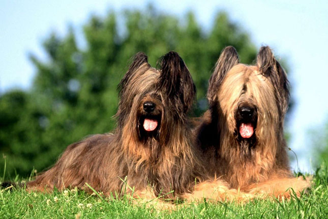 Breed Standard Picture for Briards
