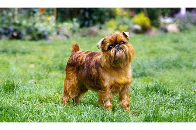 Breed Standard Picture for Brussels Griffons
