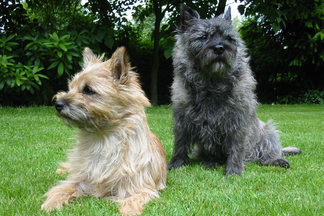 Picture of a Cairn Terrier