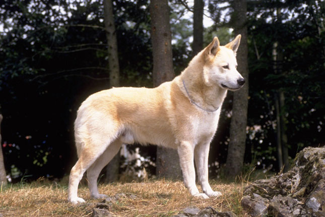 Picture of a Canaan Dog