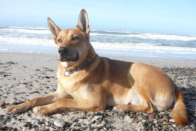 Picture of a Carolina Dog
