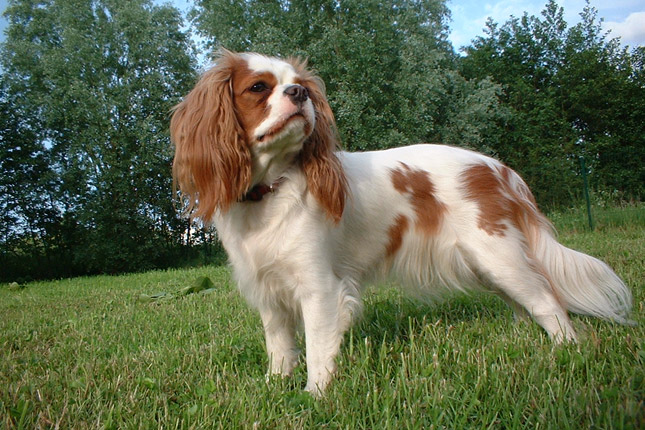 Picture of a Cavalier King Charles Spaniel