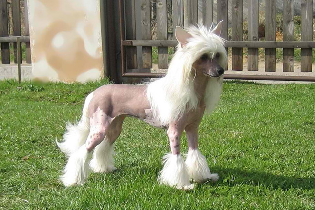 Picture of a Chinese Crested