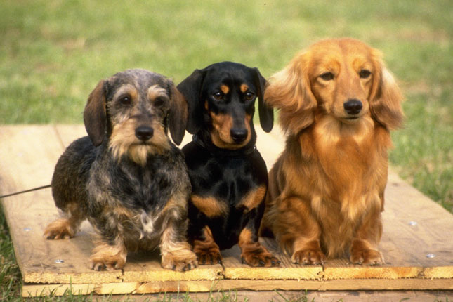 Breed Standard Picture for Dachshunds