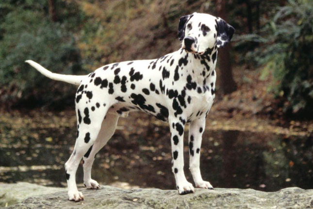 Breed Standard Picture for Dalmatians