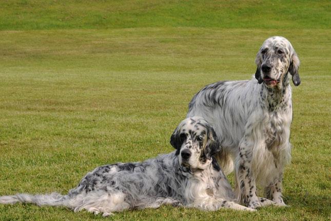English Setter Show Dog Breeders