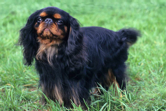 Picture of an English Toy Spaniel