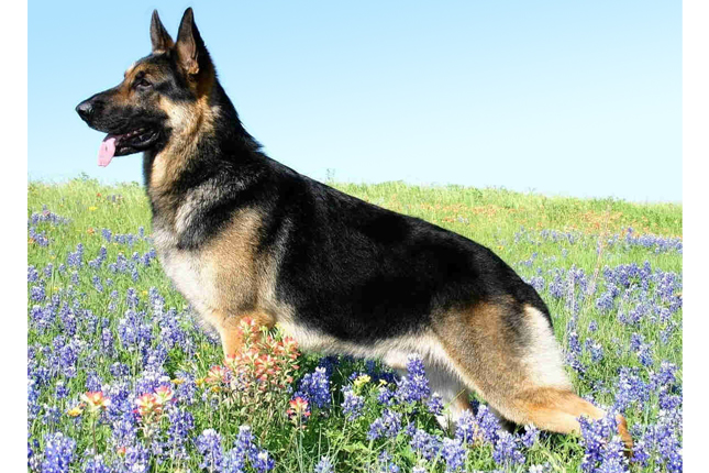 German Shepherd Puppies For Sale From Reputable Dog Breeders