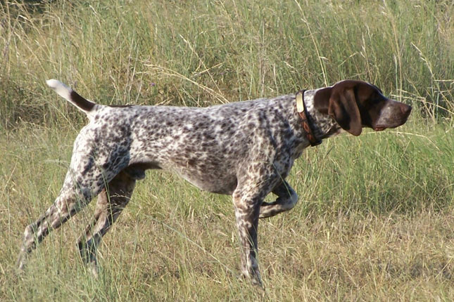 Picture of a German Shorthaired Pointer