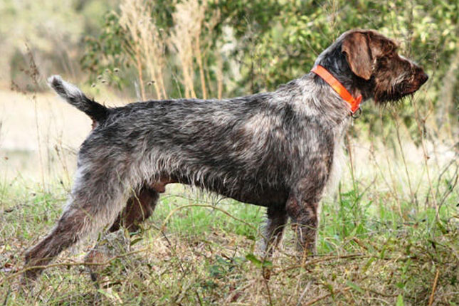Picture of a German Wirehaired Pointer