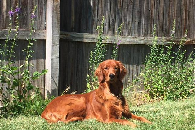 Picture of a Golden Irish
