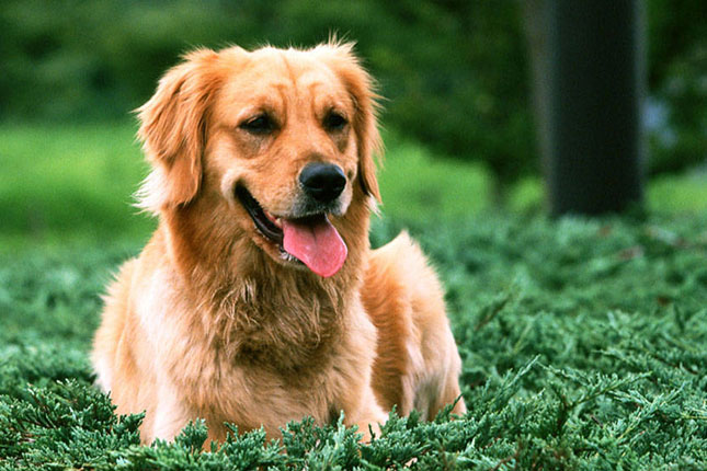 Golden Retriever Breeders In Columbus Ohio