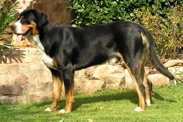Picture of a Greater Swiss Mountain Dog