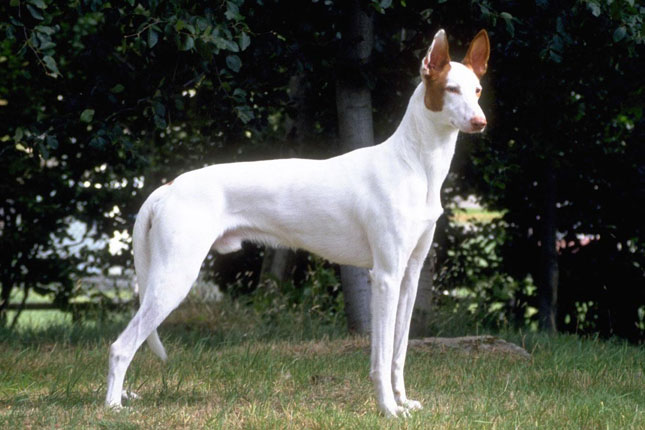 Breed Standard Picture for Ibizan Hounds