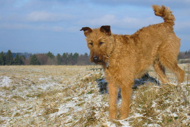Breed Standard Picture for Irish Terriers