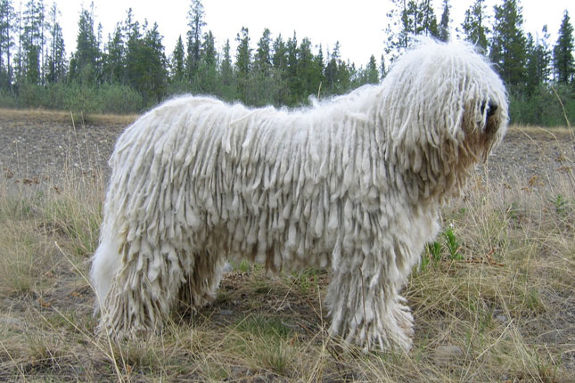 Picture of a Komondor