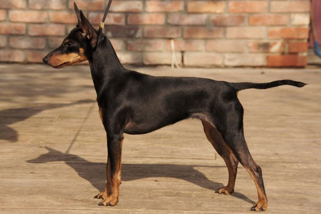 Breed Standard Picture for Toy Manchester Terriers