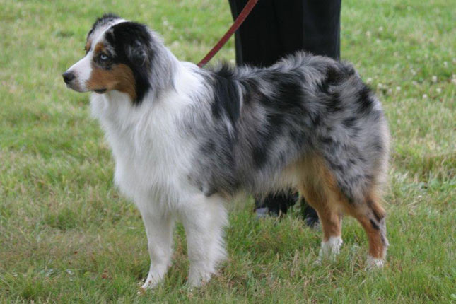 Picture of a Miniature American Shepherd
