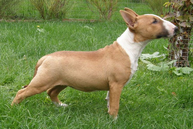 Miniature Bull Terrier Puppies For Sale From Reputable Dog Breeders