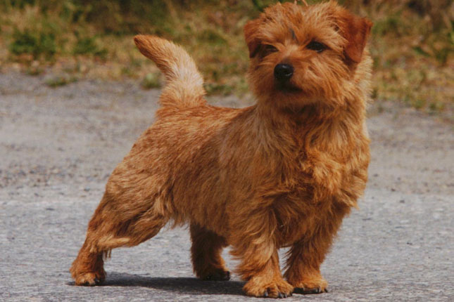 Breed Standard Picture for Norfolk Terriers