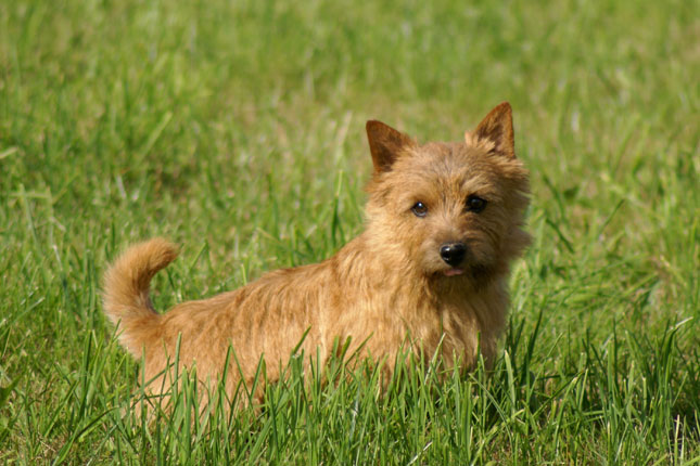Breed Standard Picture for Norwich Terriers