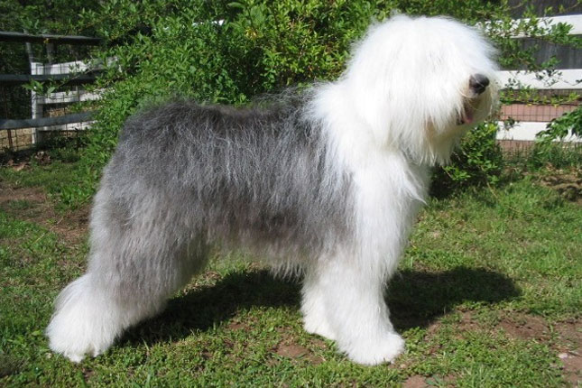 Picture of an Olde English Sheepdog