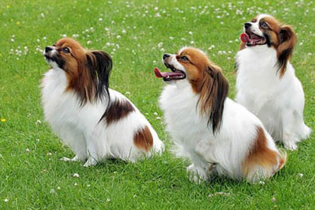Breed Standard Picture for Papillons