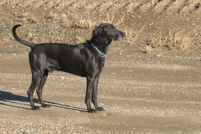 Picture of a Plott Hound
