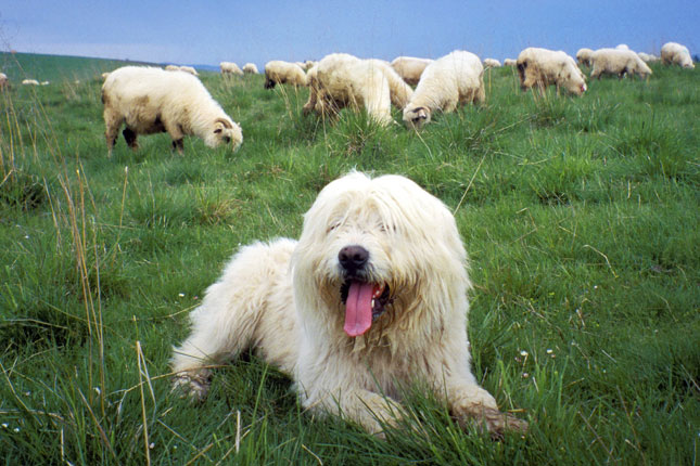 Picture of a Polish Lowland Sheepdog