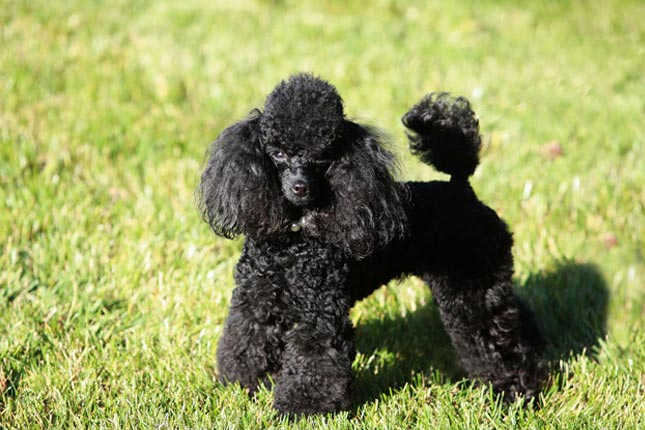Toy Poodle Puppies for Sale from Reputable Dog Breeders