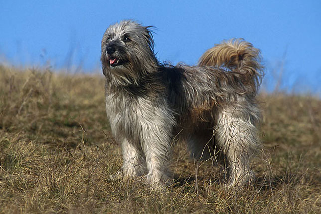 Picture of a Pyrenean Shepherd