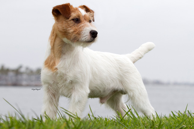 Breed Standard Picture for Russell Terriers