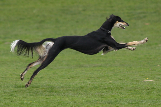 Picture of a Saluki