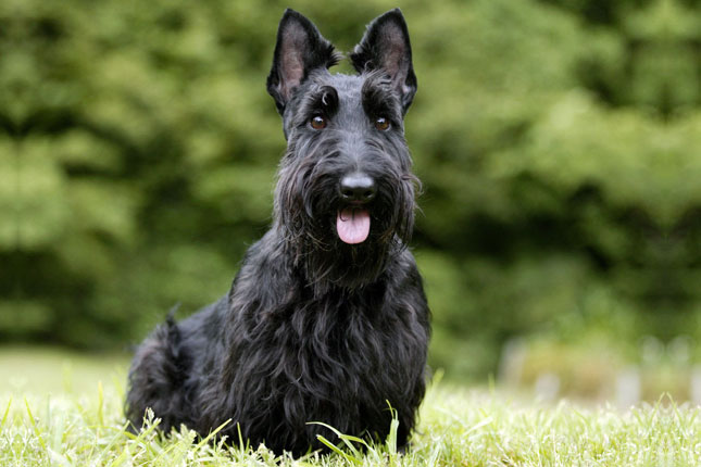 Picture of a Scottish Terrier