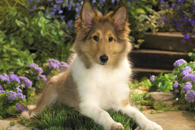Picture of a Shetland Sheepdog - Sheltie