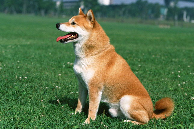 Breed Standard Picture for Shiba Inus