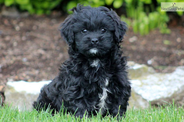 Breed Standard Picture for Shih Poo Shihpoos