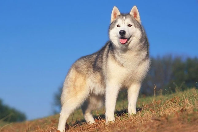 Breed Standard Picture for Siberian Huskies
