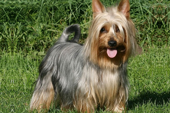 Silky Terrier Puppies for Sale from Reputable Dog Breeders