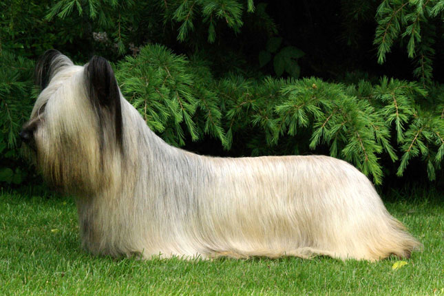 Breed Standard Picture for Skye Terriers