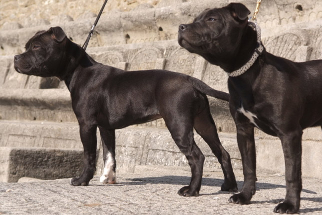 Picture of a Staffordshire Bull Terrier