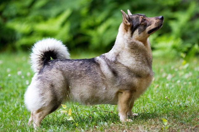 Breed Standard Picture for Swedish Vallhunds