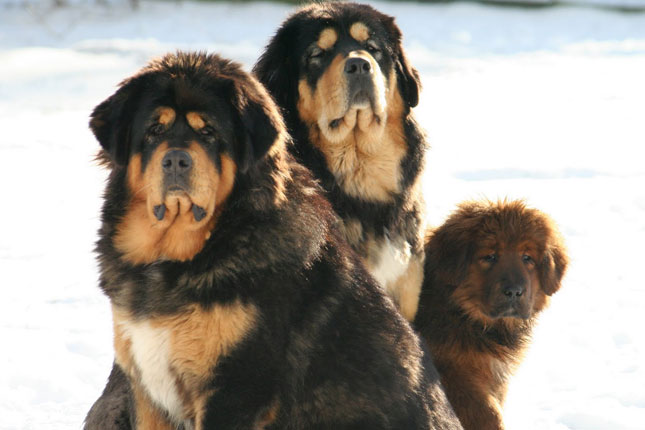 Picture of a Tibetan Mastiff