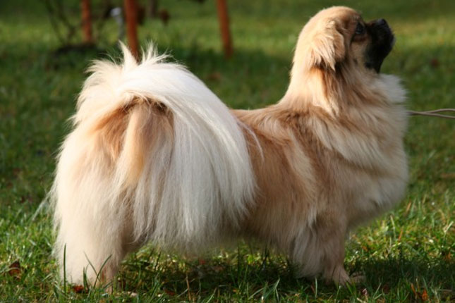 Breed Standard Picture for Tibetan Spaniels